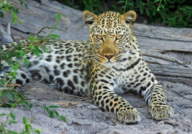 leopard-515508_640.jpg